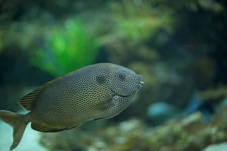 Big colorful fish swimming in an aquarium Stock Photo