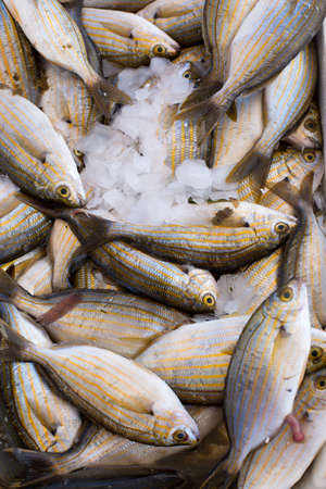 hooked up: Fresh sea fish hooked mullet, close up