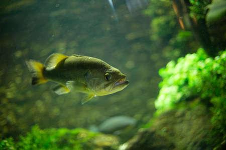 underwater ocean: Big piranhas swimming in aquarium Stock Photo
