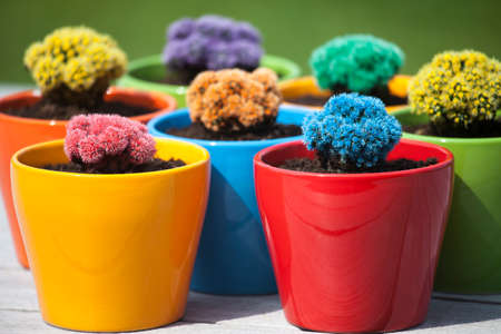 cactus flower: many colorful cacti in round flowerpots in front of green background