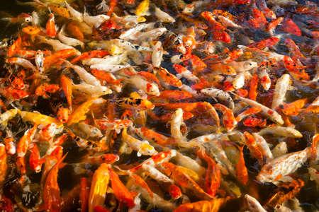 Feeding many colorful orange hungry japanese goldfishes swimming in freshwater  photo