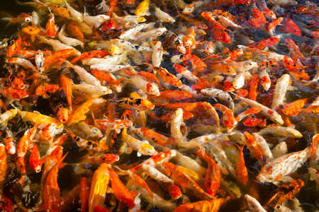 coi: Feeding many colorful orange hungry japanese goldfishes swimming in freshwater