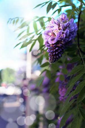 glycine: Wisteria Longwood Purple glycine Stock Photo