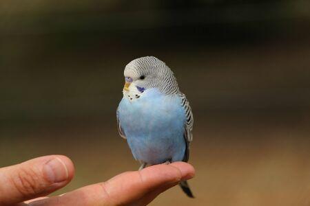 periquito: hermoso periquito azul