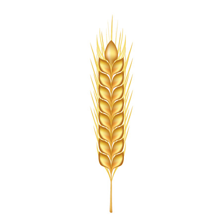 winter wheat: single whole grains isolated on white background