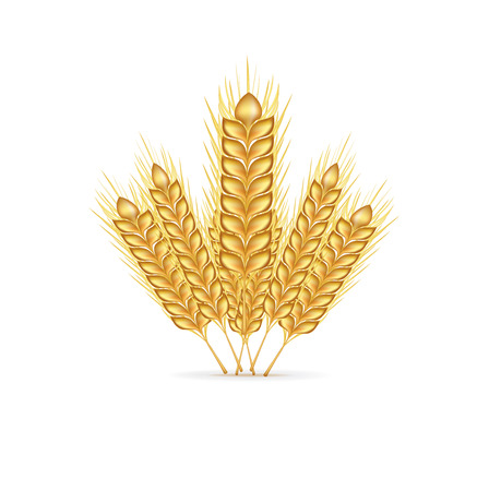 winter wheat: group of whole grains isolated on white background