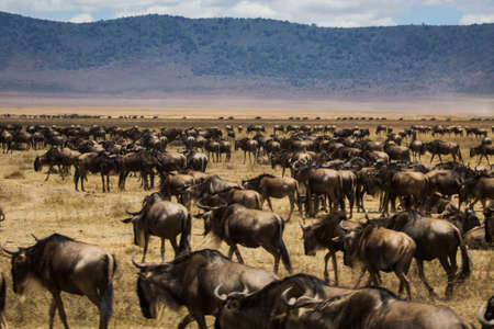 tanzania antelope: Thousand of Gnus walking along the African Savannah Stock Photo