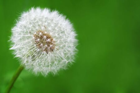delicate dandelion against a green background Stock Photo