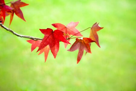 red maple leaf: Red maple leaf among fall leaves