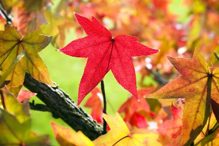 red maple leaf: Red maple leaf among fall leaves  Stock Photo