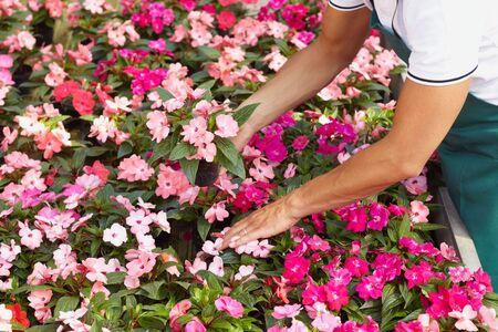 High angle view of florist arranging pink flowers pots photo