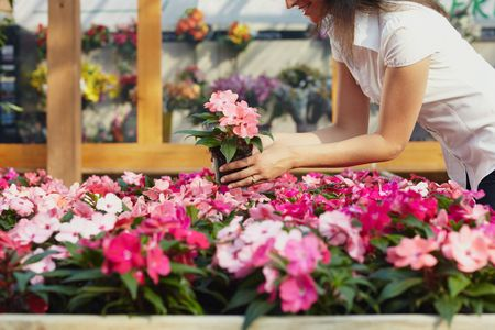 cropped view of woman choosing pink flowers in garden center Stock Photo - 5080053