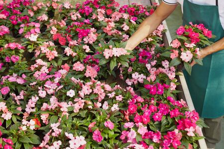 High angle view of florist arranging pink flowers pots Stock Photo - 5124541