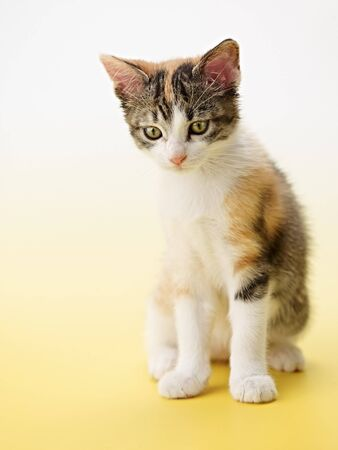 tricolor female kitten on yellow background. Vertical shape, copy space photo