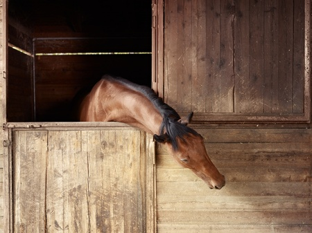 english thoroughbred horse in stable at riding school