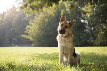 tilting: young german shepherd sitting on grass in park and looking with attention at camera, tilting head