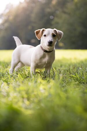 jack russel: puppy jack russell standing on grass in park and looking at camera with attention. Full length, copy space Stock Photo