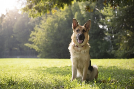 shepherd's companion: young german shepherd sitting on grass in park and looking with attention at camera Stock Photo
