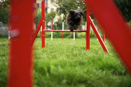 agility dog: Pets racing in competition, agility race with dog jumping over red hurdle