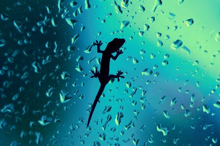 raining: Primer macro de un geko descansando en una ventana en el interior, mientras lloviendo. El vidrio está mojado con gotas de lluvia