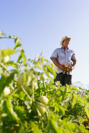 Farming and cultivations in Latin America. Middle aged hispanic farmer standing proud in tomato field, holding some vegetables in his hands. Copy space in the sky.