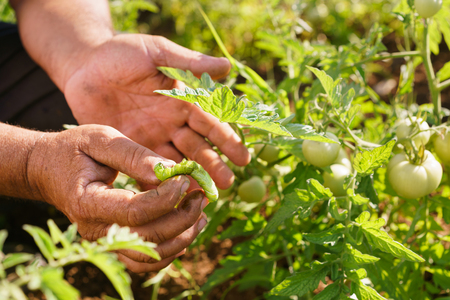 middle america: Farming and cultivations in Latin America. Middle aged hispanic farmer in a tomato field, showing a bug that affects the plant to the camera. Closeup of hands