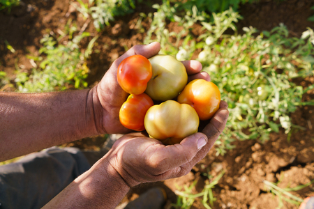 red america: Farming and cultivations in Latin America. Middle aged hispanic farmer holding red and green tomatos in his hands, showing them to the camera.
