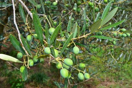 oliva su pianta Archivio Fotografico