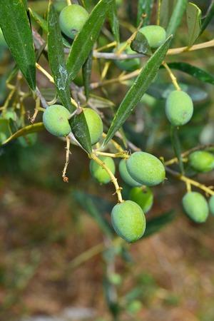 oliva su pianta
