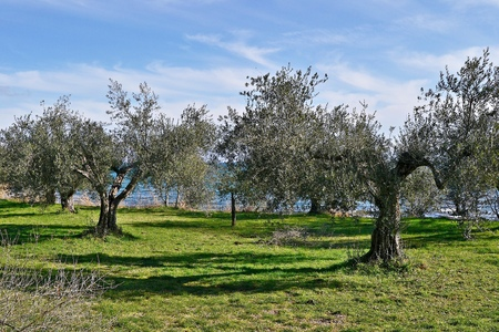mediterraneo: piante di ulivo