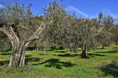 collina: piante di ulivo