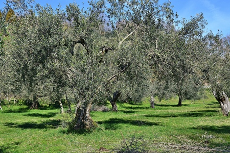 Piante di ulivo
