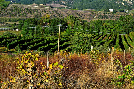vineyard at sunset photo
