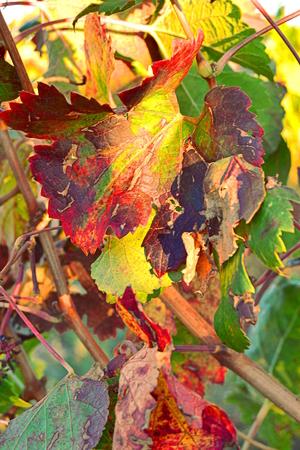 wijnbladeren: wijnstok bladeren in de herfst