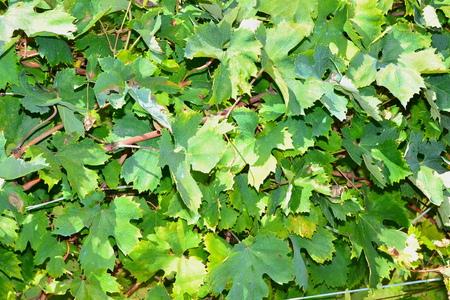 foglie: foglie of grapevine in fall