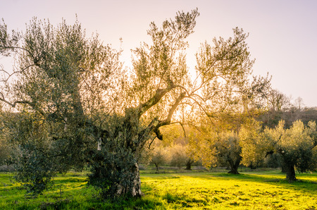 view of a plantation of olive trees on the shores of Lake Bolsena Stock Photo