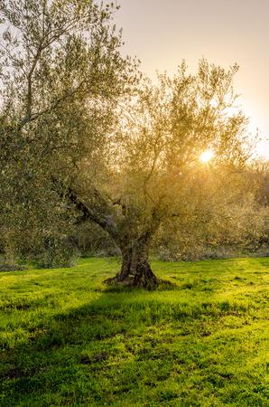 uitzicht op een plantage van olijfbomen aan de oevers van het meer van Bolsena