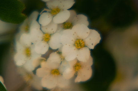 spring photo with hawthorn flowers Stock Photo