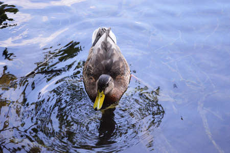 migrated: duck in lake