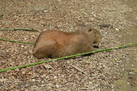 Capybara the largest rodent