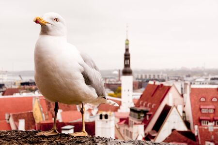 Pigeon in the city landscape of Tallinn, Estonia Stock Photo