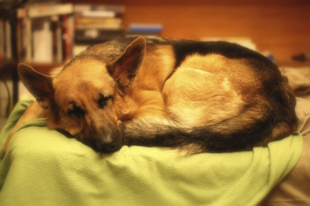 Sleeping German Shepherd photo