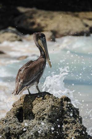 playa blanca: Standing Pelican with wave crashing on Rock  Colombia  Playa Blanca Island, caribbean  South America