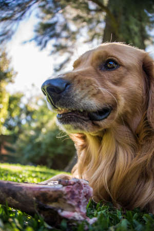 Fearless Dog, dangerous eating a Bone. Golden Retriever. Mad and scary. photo