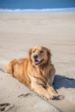 animal tongue: Beautiful Dog Golden Retriever breed enjoying at the beach.  Argentina South America.