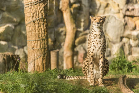 lieing: Beautiful Predator, Cheetah looking with attention.