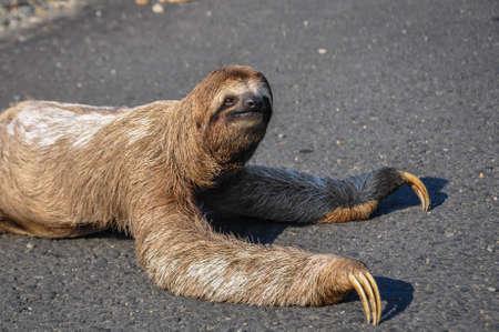 sloth: Pereza tratando de cruzar la carretera en el Parque Nacional Corcovado, Costa Rica.