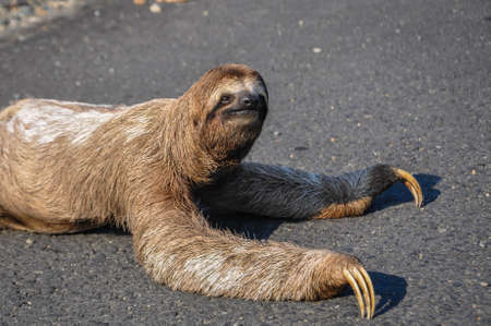 Sloth trying to cross the road at Corcovado National Park, Costa Rica.