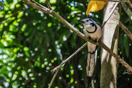 Beautiful Blue Bird watching curious at Montezuma, Costa Rica, Stok Fotoğraf