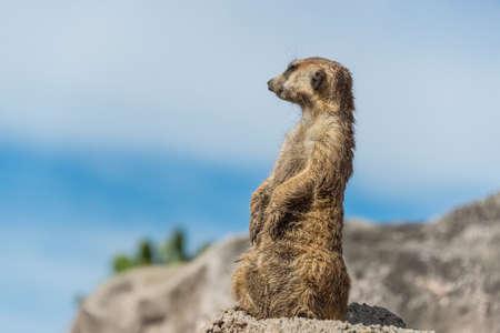 suricatta: Meerkat Portrait standing.
